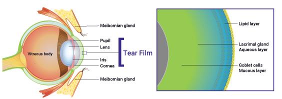 Tear Film Diagram